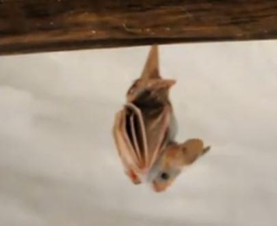 ぶら下がるコウモリの赤ちゃん