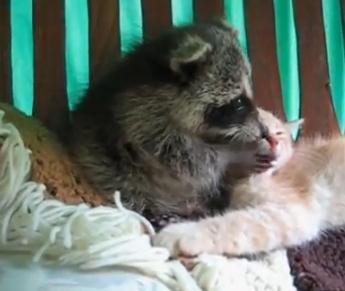 アライグマに愛されるネコ