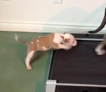 トレッドミルに乗りたい子犬
