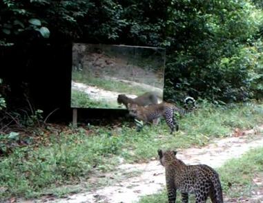 大きな鏡に興味を持つ2匹のチーター