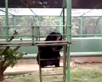 はしごを下る熊がぎこちなくてカワイイ