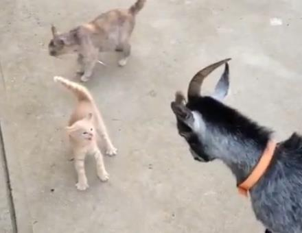 ヤギ vs. 子猫