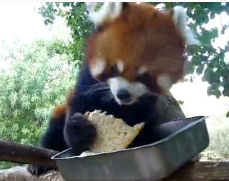 パンを食べるレッサーパンダ