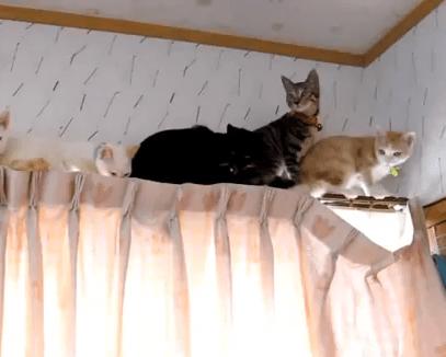 猫、カーテンレールの上で定員オーバーに