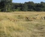 ライオン vs. ハイエナ、プライドとクランの戦い