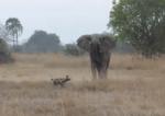 アフリカゾウ vs. リカオン