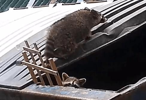 ゴミ箱に閉じ込められたアライグマの救出方法