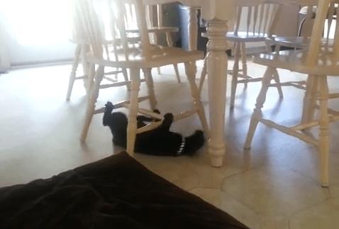 椅子の足を利用して移動する猫