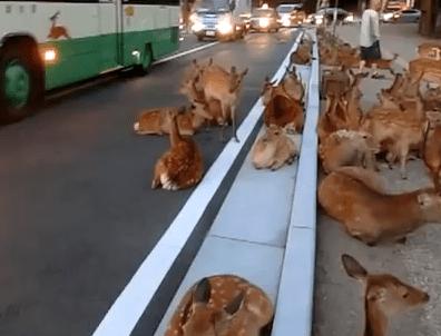 道路を占領して涼を取る奈良公園の鹿達