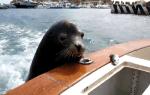 のんびりアシカ、せっかくの魚をペリカンに奪われる