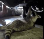 車のメンテナンスをするアライグマ
