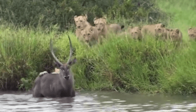 ウォーターバックを狩るライオンの群れ