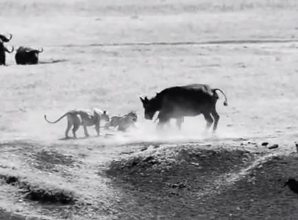 ライオンに襲われる子供を守るアフリカ水牛