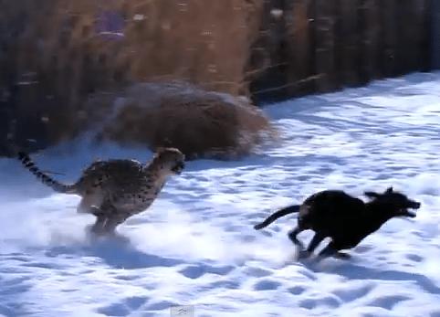 雪の積もった広場で犬とチーターが追いかけっこ