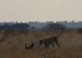 ラーテル vs. ライオン