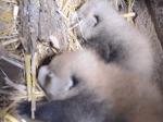 レッサーパンダの赤ちゃんの体重測定