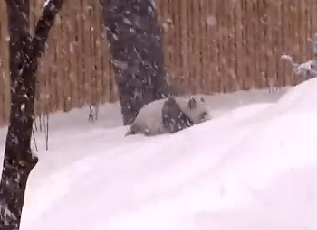 雪遊びをする寒さに強いジャイアントパンダ