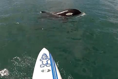 パドル・サーフィンをしていたらシャチと遭遇