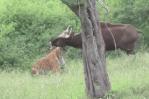野牛を狙うトラ、反撃する隙を与えない完璧な狩り