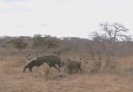 アフリカ水牛の親子を狩るライオンの群れ