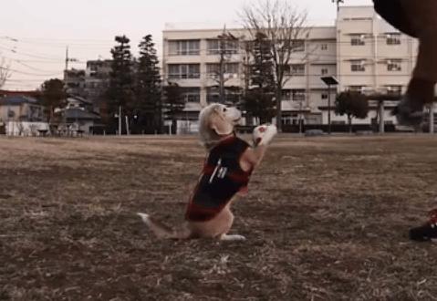 ボールキャッチの天才犬、ビーグルのプリンちゃん