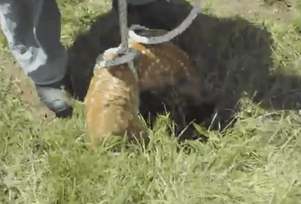 穴に落ちた子鹿をロープで救助
