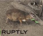 ジャワマメジカ( Java mouse deer)の赤ちゃんの映像