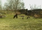 ゴリラ vs. ガチョウ、ガチョウの攻めに怯えるゴリラ