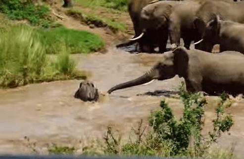 激流に流される象の赤ちゃんを大人のゾウが救助