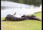 ワニ vs. ワニ、ゴルフ場でワニが死闘を繰り広げていた!