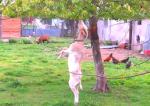 ヤギの二足歩行