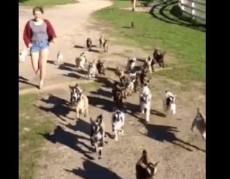 ヤギ牧場、44頭のがめちゃくちゃ可愛い仔山羊の映像