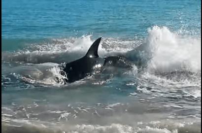 アシカで窒息しビーチでのたうち回るホホジロザメ