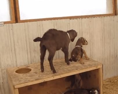 身動きできなくなったヤギを仲間が助けようと頑張る映像
