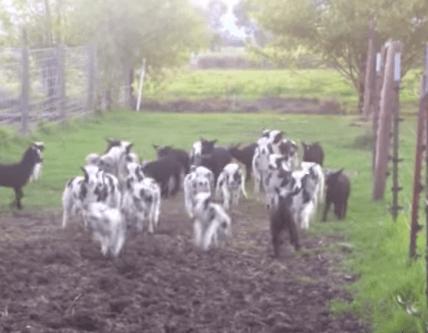 走ったり跳んだり、大ハッスルな子羊たち