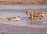 3頭のライオン vs. 1頭のワニ