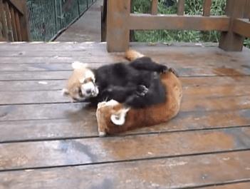レッサーパンダのレスリング