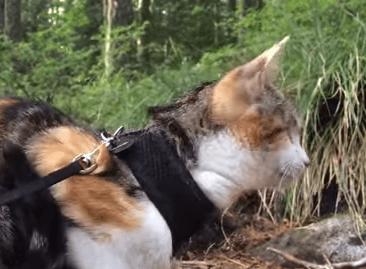 目の見えない三毛猫、Honye Beeのお散歩