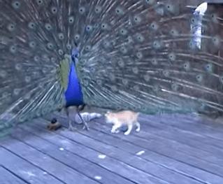 孔雀の羽に容赦なくアタックする子猫