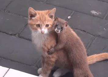 イタチと子猫が仲良くしている映像