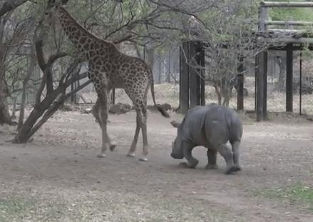 キリンの強烈な後ろ蹴りを喰らうサイ   サイ vs. キリン