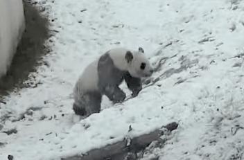 雪の中、坂を転がって遊ぶジャイアントパンダ