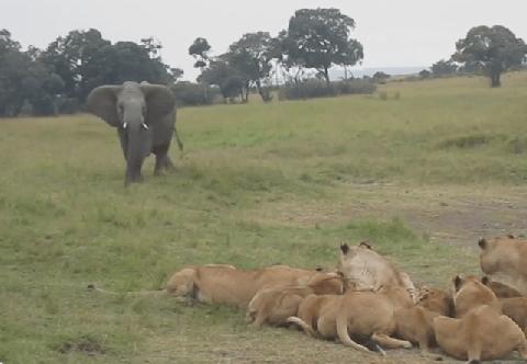 ライオンの群れに脅しをかける若いゾウ