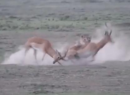 決闘中のインパラがライオンに襲われる衝撃映像