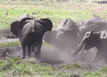 泥浴び中のゾウの群れ、赤ちゃんが抜け出せなくなり一斉救助