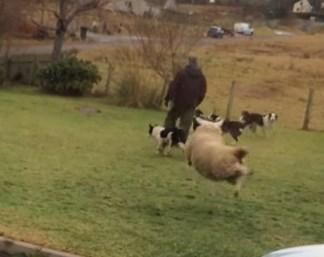 ワンコと遊ぶ羊の子が身体をくねらせながら飛び跳ねる