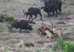 ライオンの群れに食べられそうな仲間を救出するバッファロー