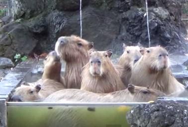 ゆず風呂に浸かる埼玉こども動物自然公園のカピバラ