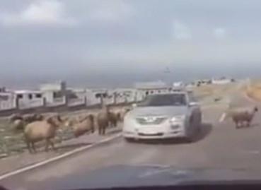 乗用車が決闘中の羊の間に割り込み大変なことに!