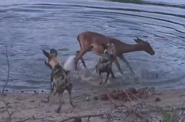 妊娠中のインパラを襲うリカオンの群れ